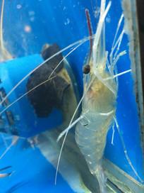 攀爬的沼虾
