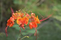 漂亮的凤凰花