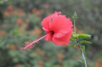 漂亮的扶桑花