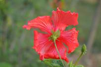 漂亮的红色花朵扶桑