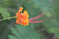 色彩鲜艳的凤凰花