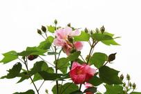 盛开的粉红色花