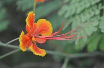 五片花瓣的凤凰花