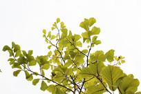 向上的叶子