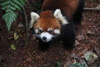 小熊猫行走