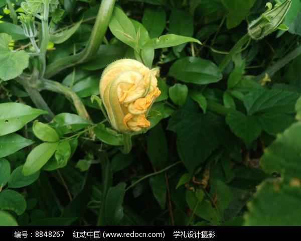 新长出的南瓜花图片