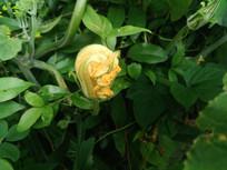 新长出的南瓜花
