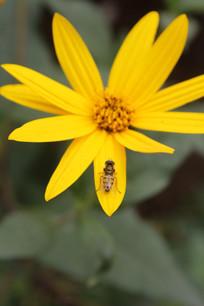 洋姜花朵上栖息的小昆虫