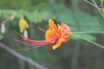 一朵凤凰花