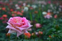 一朵美丽的玫瑰花鲜花