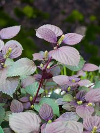 紫苏的生长过程