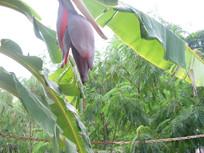 芭蕉叶与芭蕉花