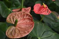 花烛红掌花卉图片
