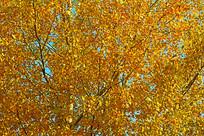 金黄色的杨树叶子