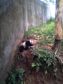 慵懒睡觉的熊猫
