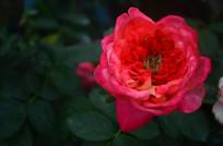 美丽的月季花鲜花特写