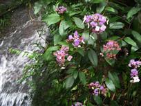 盛开的绣球花