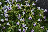 夏堇花卉图片
