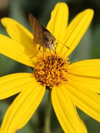 洋姜花花蕾与蝴蝶