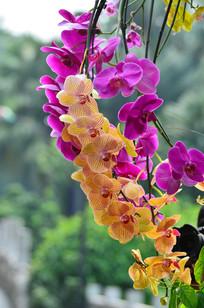 一枝美丽的蝴蝶兰花