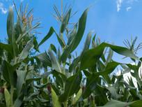 玉米的生长发育过程