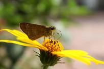 驻足在洋姜花上的蝴蝶