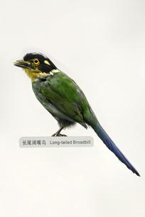 长尾阔嘴鸟标本