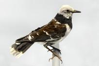 黑领椋鸟标本
