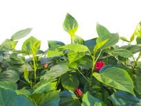 绿叶红花开