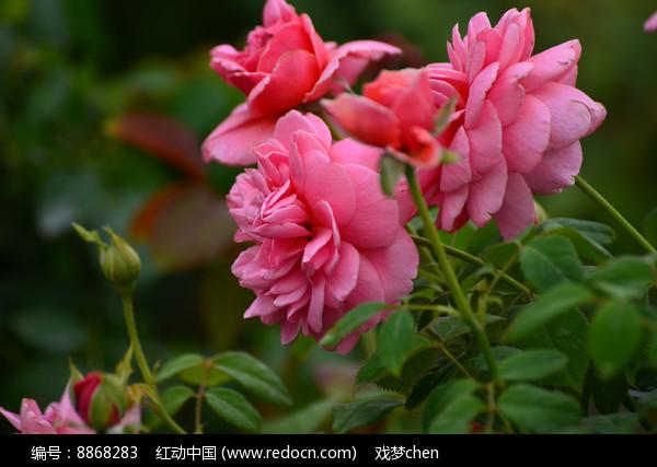 灿烂的玫瑰花花卉风景高清图片下载 编号8868283 红动网图片