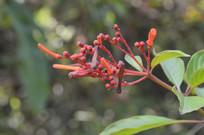 橙黄色长隔木花朵