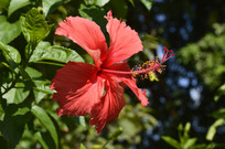 扶桑花卉图片