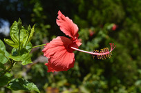 观赏性植物扶桑花