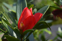 含苞欲放的杜鹃红山茶