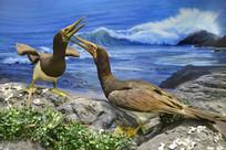 褐鲣鸟标本