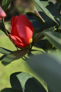 将要盛开的杜鹃红山茶