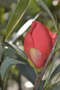 即将盛开的杜鹃红山茶