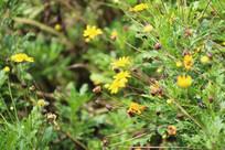 满地的野黄花