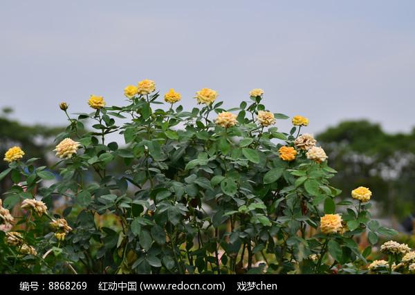 玫瑰花花卉风景图片高清图片下载 编号8868269 红动网图片