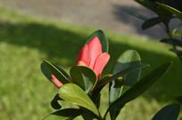 名贵木本植物杜鹃红山茶