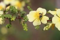 觅食的蜜蜂