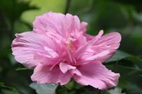 漂亮的粉色木槿花