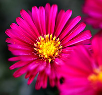 漂亮的山菊花