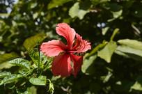 热带植物扶桑花