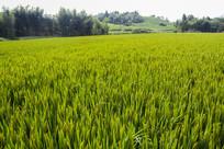 山村茶园稻田