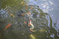 水波荡漾中的鲤鱼