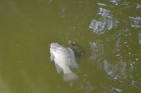 死锦鲤鱼与乌龟