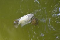 乌龟吃死鲤鱼