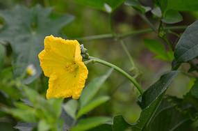 一朵美丽的南瓜花