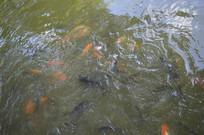 游在水里的鲤鱼